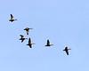 Mottled or Black Ducks?