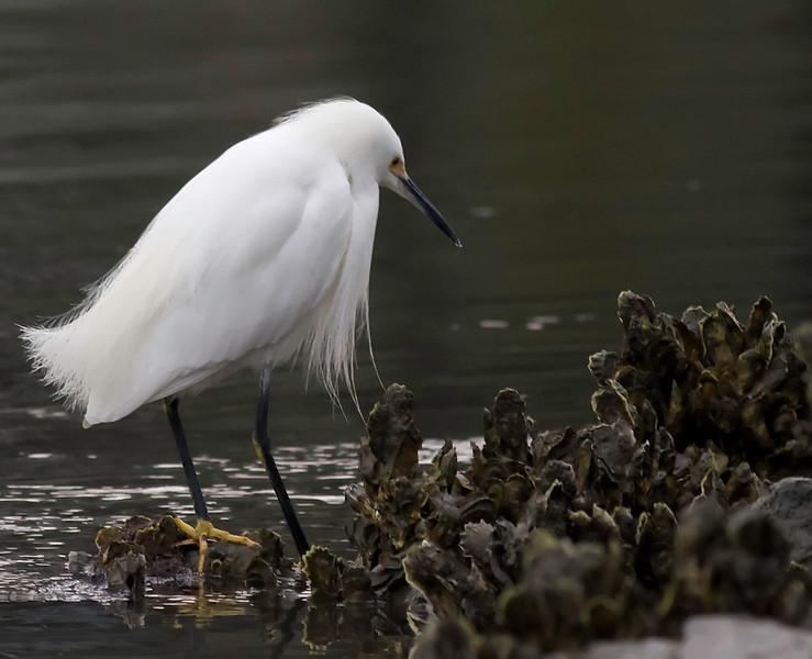 Snowy Egret at Wapoo Cut