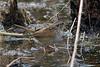 Swamp Sparrow (variant?)
