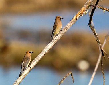 Cedar Waxwings at the ready.