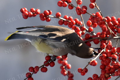 #1239  Cedar Waxwing eating Winterberry