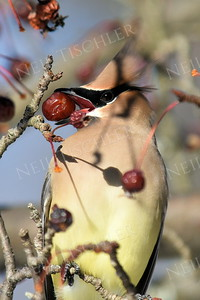 #1314  Cedar Waxwing eating crabapple