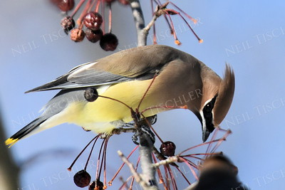 #1250  Cedar Waxwing selecting a crabapple