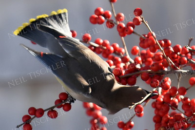 #1237  Cedar Waxwing eating Winterberry