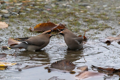 _J3A6874 waxwings argueing