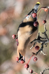 #1281  Cedar Waxwing eating crabapple