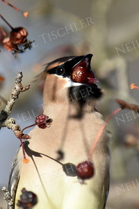 #1312  Cedar Waxwing eating crabapple