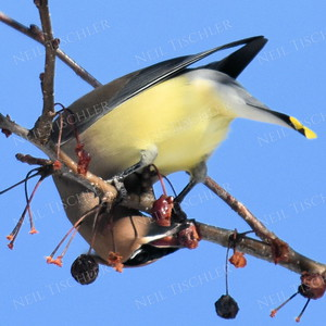 #1241  Cedar Waxwing eating crabapple
