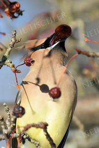#1316  Cedar Waxwing eating crabapple