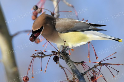 #1267   Cedar Waxwing with a crabapple