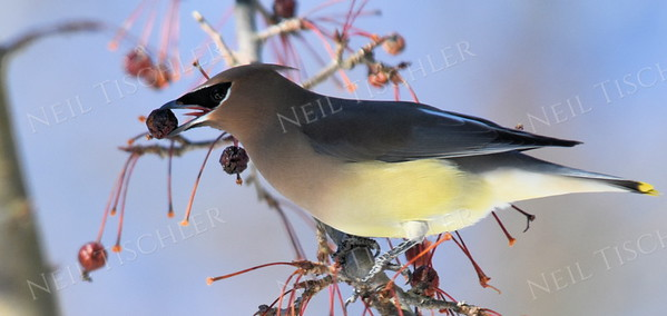 #1269   Cedar Waxwing with a crabapple
