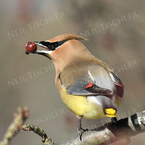 #1320  Cedar Waxwing eating crabapple