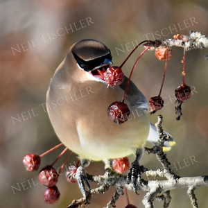 #1284  Cedar Waxwing eating crabapple