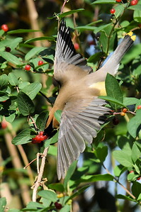 #1524  Cedar Waxwing diving for berry