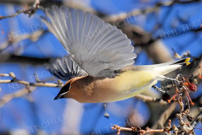 #1242  Cedar Waxwing in flight