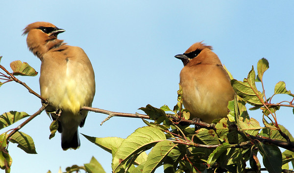 """She said WHAT?""    Feeling a bit upset, Cedar Waxwings have a conversation."