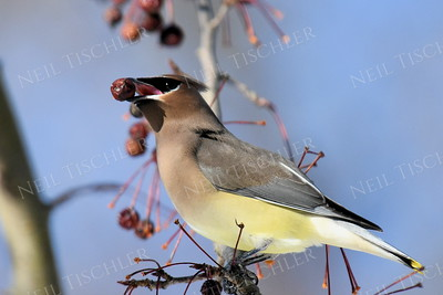 #1268   Cedar Waxwing with a crabapple