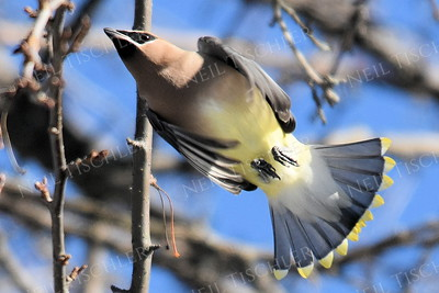 #1243  Cedar Waxwing in flight