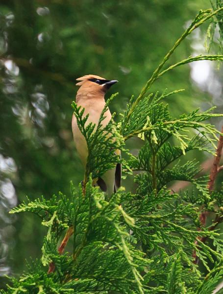 Cedar waxwing