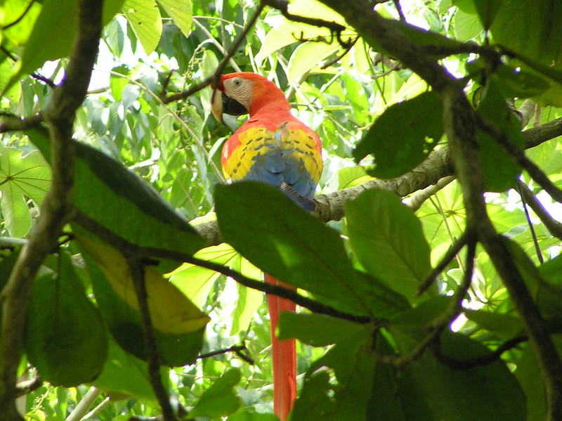 Scarlet Macaw<br /> Costa Rica