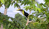 Chestnut-billed Toucan, Costa Rica