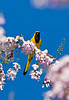 Yellow-tailed Oriole, Belize
