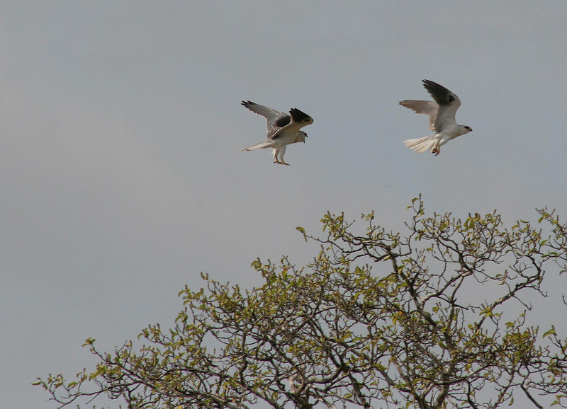 White-Tailed Hawks