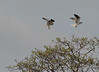 White-Tailed Hawks