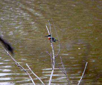 Green Kingfisher (male)