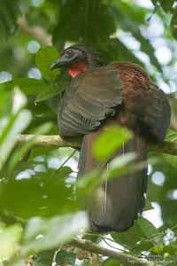 Crested Guan - Female - Barro Colorado Island, PA