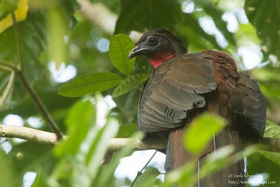 Crested Guan - Female - Barro Colorado Island, PA