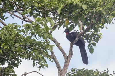 Crested Guan - Record - Chiquibul National Park & Reserve, Belize
