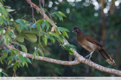 Gray-headed Chachalaca - Bijao, Panama