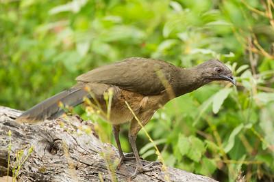Plain Chachalaca - Frontera Audubon, Weslaco, TX, USA