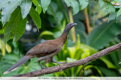 Plain Chachalaca - Cartago, Costa Rica