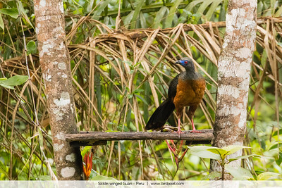 Sickle-winged Guan - Peru