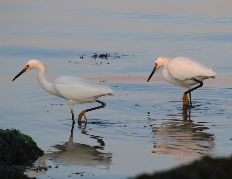 Snowy Egrets 7-6-16