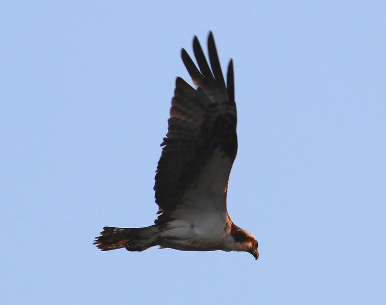 Osprey hunting 7-6-16