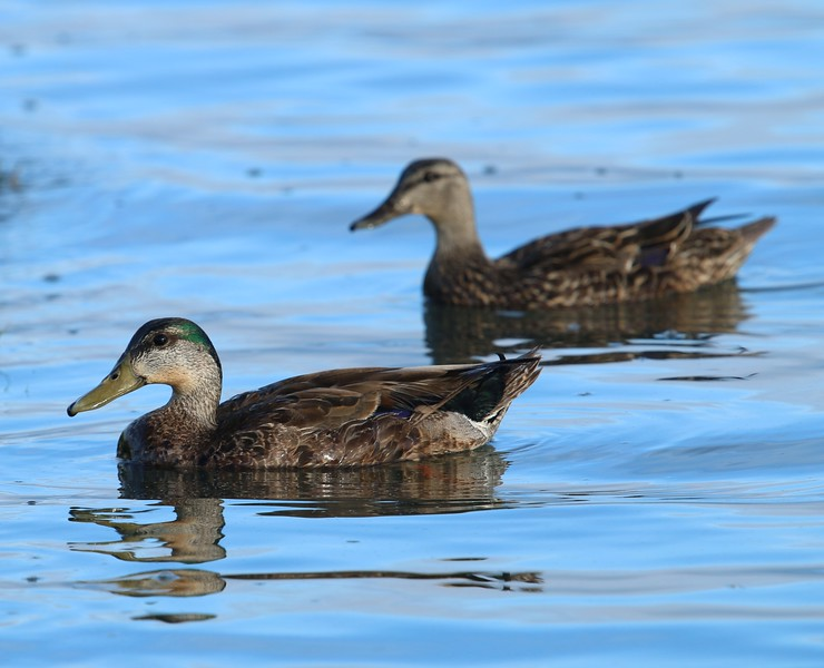 Female Mallards