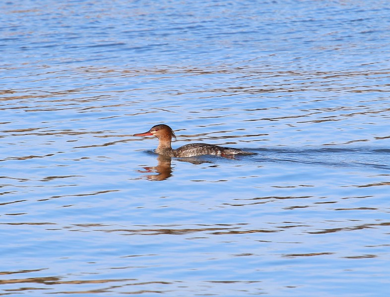 Red-Breasted Merganser - female