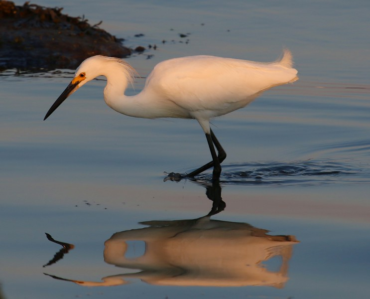 Snowy Egret 7-6-16
