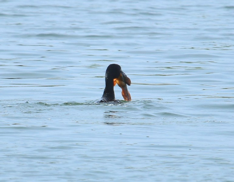 Cormorant devouring a fish