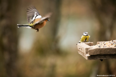 Chaffinch in flight (with Blue tit)