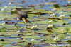 Comb-crested Jacana before catching a bug