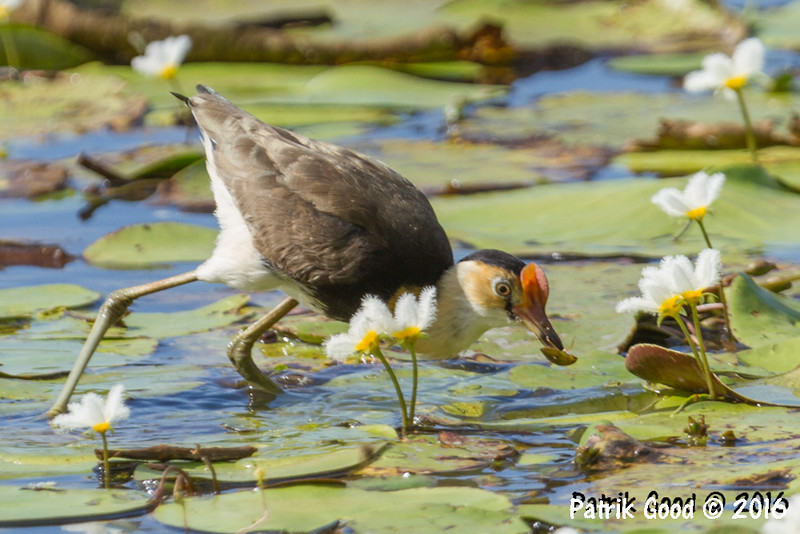 Comb-crested Jacana eating bug