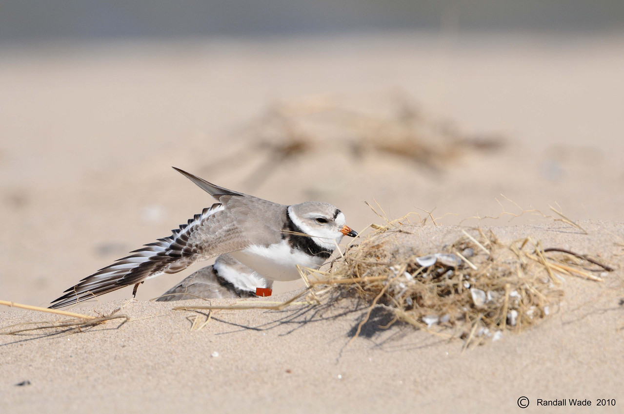 Stretching Piping Plover