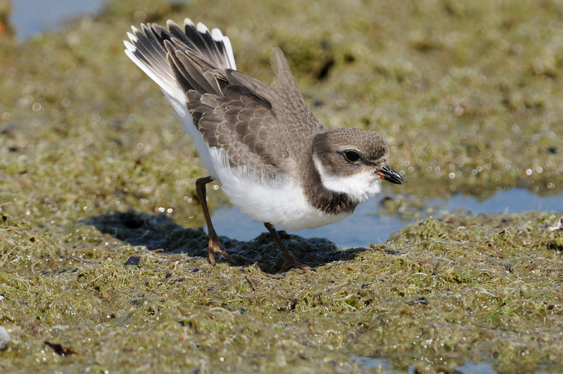 Semipalmated Plover, Agressive Display