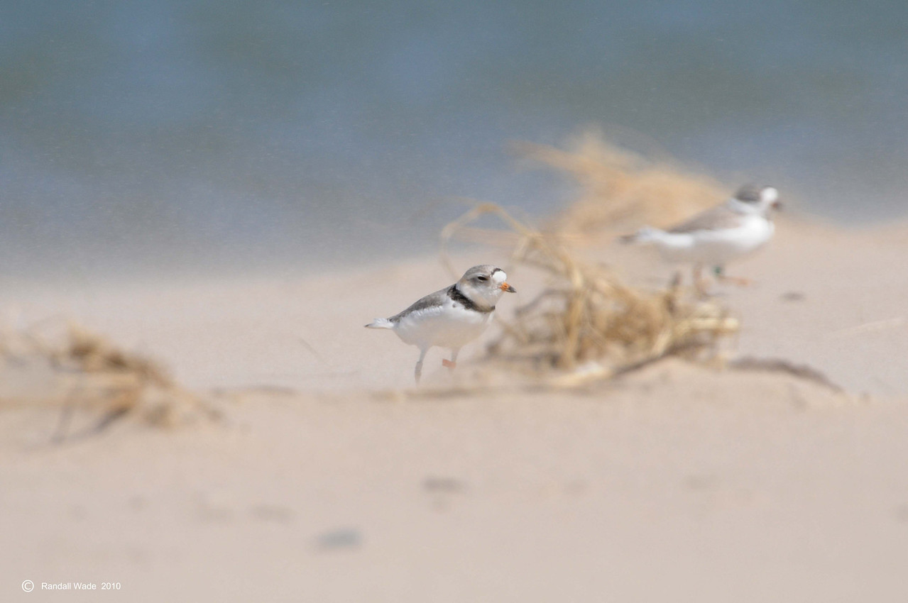 Piping Plovers Face Sandstorm