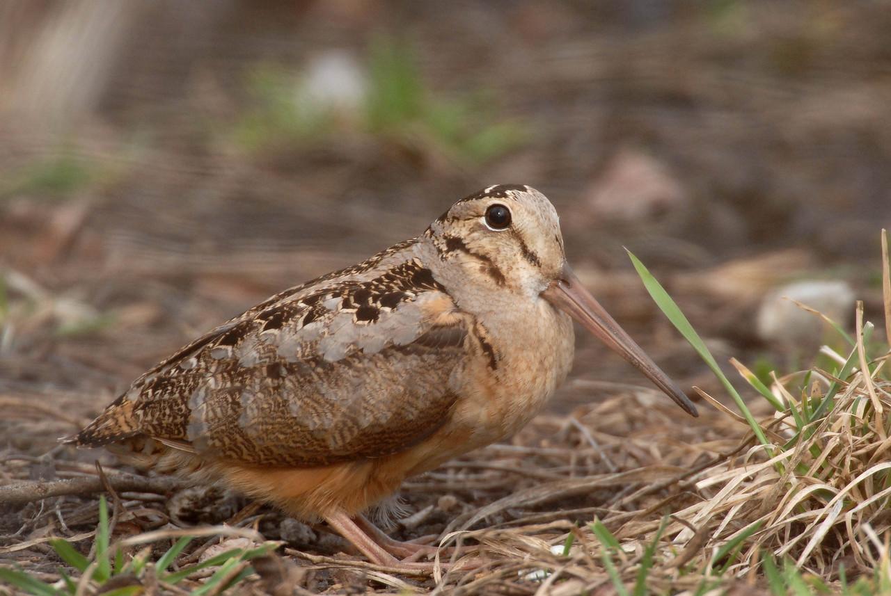 Woodcock