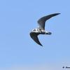 Immature Black Tern